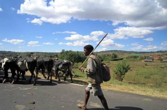 B Madagasy herdsman