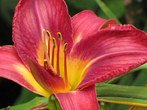 Pink daylily for Jewel School by JTV newsletter